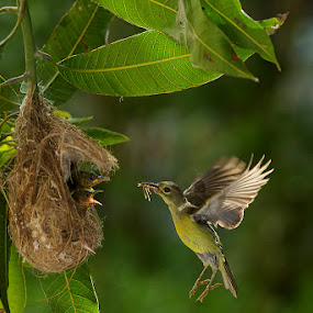 Feeding Time @ Sun Bird by CK NG - Animals Birds ( love, feeding time, sun bird )