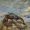Red Rock Crab Sally Lightfoot Crab