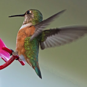 Too Much to Drink by Sparty Rodgers - Animals Birds ( 300mm af-s lens, d800, hummingbird, avian species, birds, rufous,  )