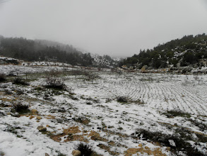 Photo: Olive trees in snow