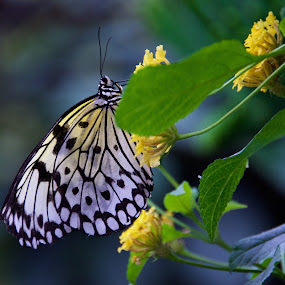 Meditation by Rebecca Roy - Animals Insects & Spiders ( butterfly, macro, macro flower, black and white, macro photography, white, yellow, macro butterfly, yellow flower, black, macro insects,  )