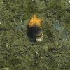 California Bubble Snail