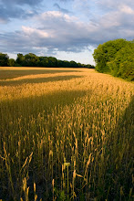Photo: wheat
