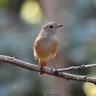 Daurian Redstart ♀ (खञ्जरी चराको प्रजाती)