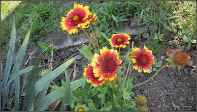 """Photo: Fluturei (Gaillardia aristata) - de pe Calea Victoriei, Nr.31 - Parcul Bisericii Ortodoxe  """"Invierea Domnului"""" -  2017.06.21"""