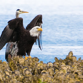 Zaščitnik - Protector by Janez Žalig - Animals Birds ( čaplja, beloglavi orel, školke, morje, lov )