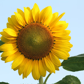 Fresh face  by Sharon Scholtes - Nature Up Close Flowers - 2011-2013 ( sky, blue, fresh, happy, green, sunflower, yellow, perfect )