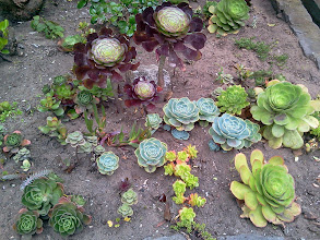 Photo: Close-up of the succulent garden at the foot of Hidden Garden Steps (16th Avenue, between Kirkham and Lawton streets in San Francisco's Inner Sunset District); this area, completely transforming what had been a weed- and graffiti-strewn area, is part of the gardens-in-progress built largely with donations from neighbors and other supporters. For more information about this volunteer-driven community-based project supported by the San Francisco Parks Alliance, the San Francisco Department of Public Works Street Parks Program, and hundreds of individual donors, please visit our website at http://hiddengardensteps.org.