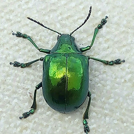 St. Patrick's Day Beetle by Ken Mulhall - Animals Insects & Spiders ( green bug, ecuador, st. patrick's day, beetle )