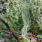 Methuselah's Beard Lichen
