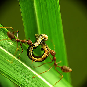 helping each other by Gilang Franasia - Animals Insects & Spiders ( macro, indonesia, insect,  )