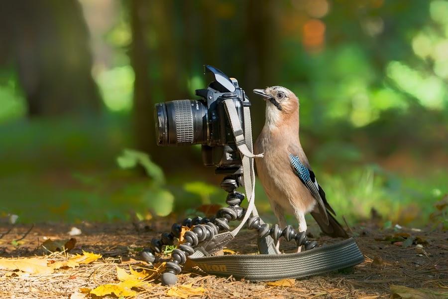 Jay as photographer by Globephoto CZ - Animals Birds ( bird, wild, photographer, jay )