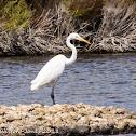 Great White Egret; Garceta Grande