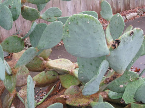 Photo: Prickly pear (Opuntia) widely available and the pads and the fruit are both edible.