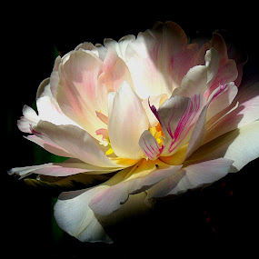 TULIP IN BLOOM by Wojtylak Maria - Flowers Single Flower ( single, in bloom, garden, tulip, colorful, flower,  )
