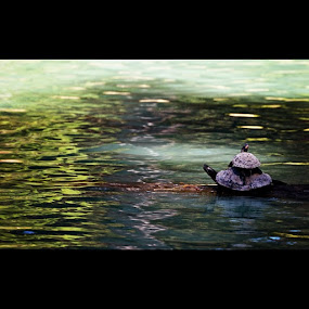 Turtle on #turtle action by Ashley Humphrey - Instagram & Mobile Instagram ( water, nature, lake, cute, log, pond, turtle, garden, animal )