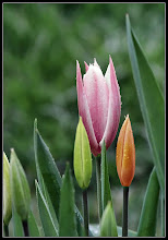 Photo: Tulipaner i regn med nye farver  Original: https://picasaweb.google.com/lh/photo/ERRChCmLQMM8CGN7riZkxdMTjNZETYmyPJy0liipFm0?feat=directlink