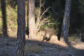 Photo: Las fotos también deben de ser de animales haciendo lo más normal como en esta imagen en la que a este jabalí, en Doñana, le picaba bastante.