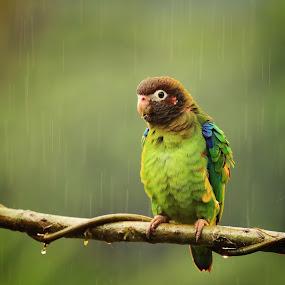 Waterproof by Tadas Jucys - Animals Birds ( parrot, costa rica, drops, brown, hooded, light, rain )