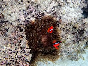 Photo: Amphiprion frenatus (Tomato Clownfish) with Entacmaea quadricolor (Bubble Anemone), Miniloc Island Resort, Palawan, Philippines.