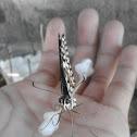Common Lime Swallowtail
