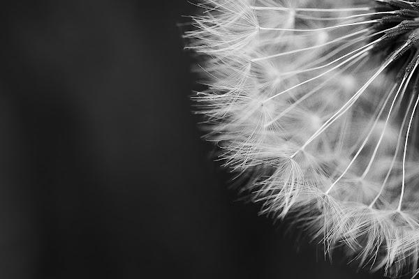 Dandelion di fraiac