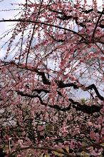 Photo: 今年の梅木の展示・即売会は許可がおりなかったということらしい。(夫婦梅枝垂れ、2014,03,15)