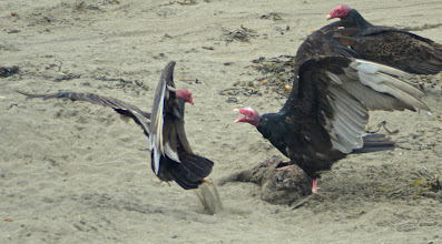 """Photo: 199. The turkey vultures on the elephant seal beaches were also very interesting to watch for awhile. The middle vulture here is feeding on a dead e-seal pup ... and the vultures were in constant squabbles over who got to feed in any one moment. The helpful docents explained that the vultures help """"clean up"""" the beaches. Sorry if this image is distressing ... for me, it's all just part of nature."""