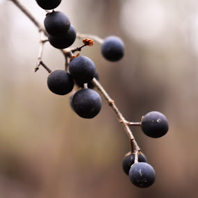 Bilberry  by Matthew Robert - Nature Up Close Other plants ( bilberry, outdoor, berry, blue, plants )