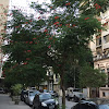 Pride of Barbados Tree