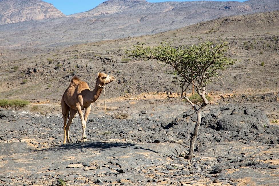 Oman, wielbłąd