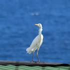 Great Egret, Common Egret, Large Egret