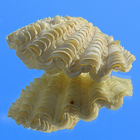 Fluted Clam Shell by Becky Luschei - Nature Up Close Other Natural Objects ( fluted, sea shells, complete, clam, white, bivalve )