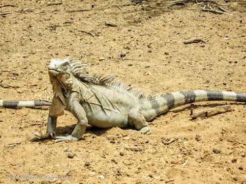 Bonaire Dive Sites // Iguana at Washington-Slagbaii National Park