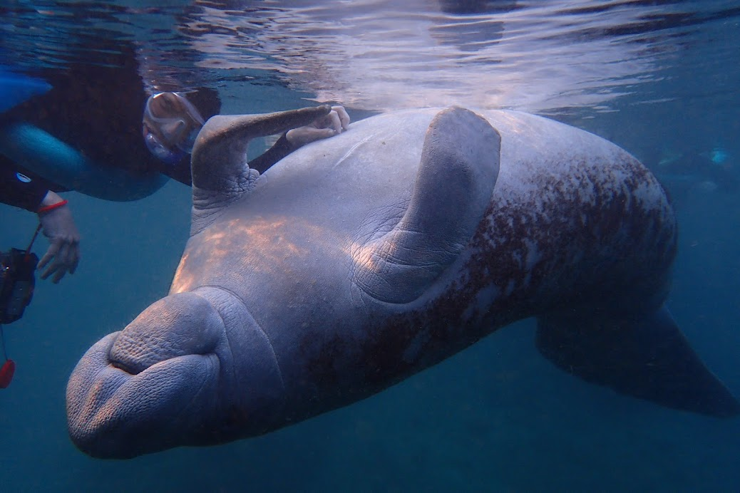 What does manatee skin feel like? It's that smooth/rough combination of a river rock.