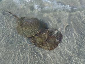 Photo: Mating Horseshoe Crabs
