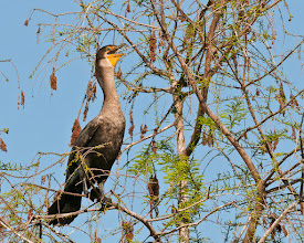 Photo: Laughing cormorant