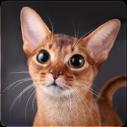 Talking Abyssinian Cat