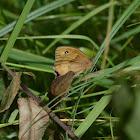 Meadow brown mating pair