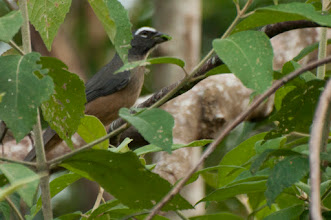 Photo: Grayish Saltator (Grausaltator); Bacalar, QROO