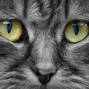 cats eyes by Christoph Reiter - Animals - Cats Portraits ( cat, green, grey, animal, eyes )