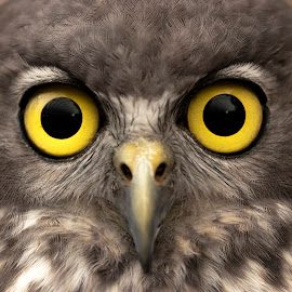 Looking straight at you by Clarissa Human - Animals Birds ( owl, bird of prey, birdlife, owls, birds, eyes,  )
