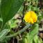 Single-flowered Scorpiurus
