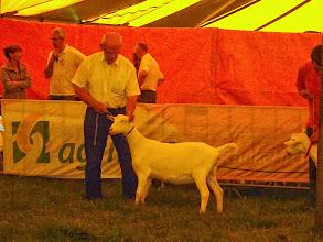 Photo: Rubriek 1: witte lammeren geboren tussen 12-3 en 4-4- 2014. 1a. Hilde v. Jonkershof.