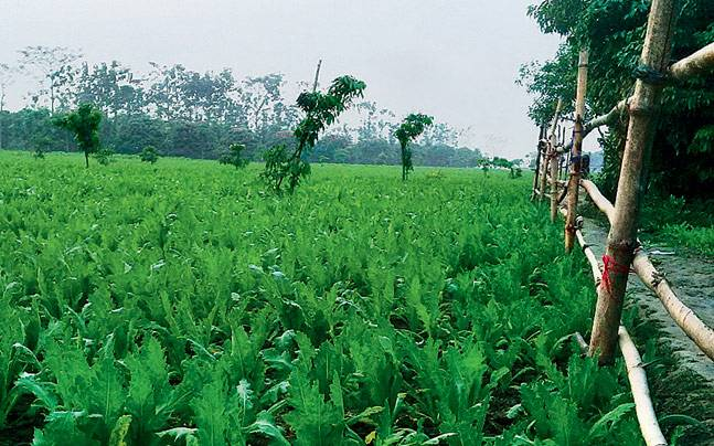 Opium poppy cultivation in Malda's Golapganj area.