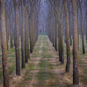 Walnut Rows by Eric Wellman - Nature Up Close Trees & Bushes ( haze, walnut, trees, rows )