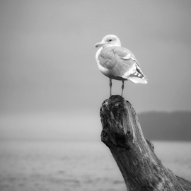 Seagull  by Todd Reynolds - Black & White Animals