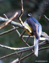 Photo: Citreoline Trogon, en route to San Blas