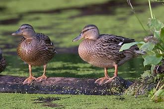 Photo: kaczki krzyżówki