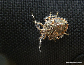 Photo: Some kind of stink bug at Tecuitata